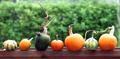 row of pumpkins web