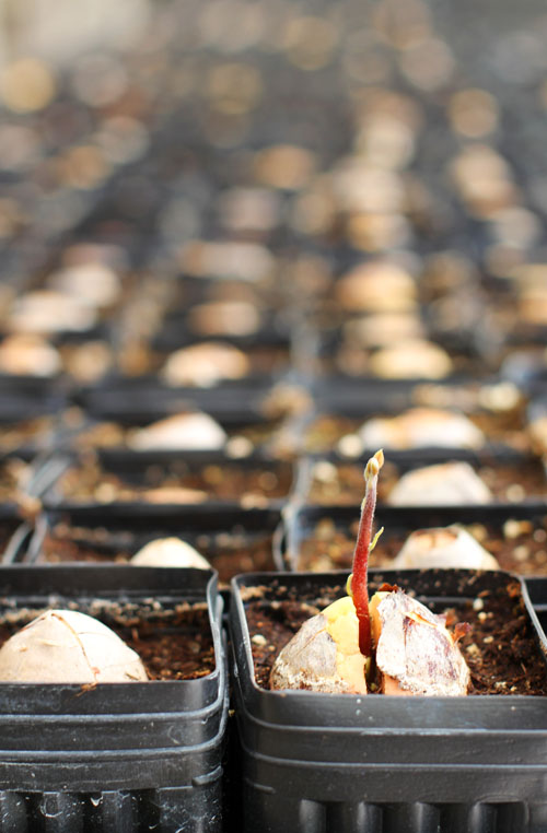 visiting an avocado tree nursery with the california avocado commission by @janemaynard