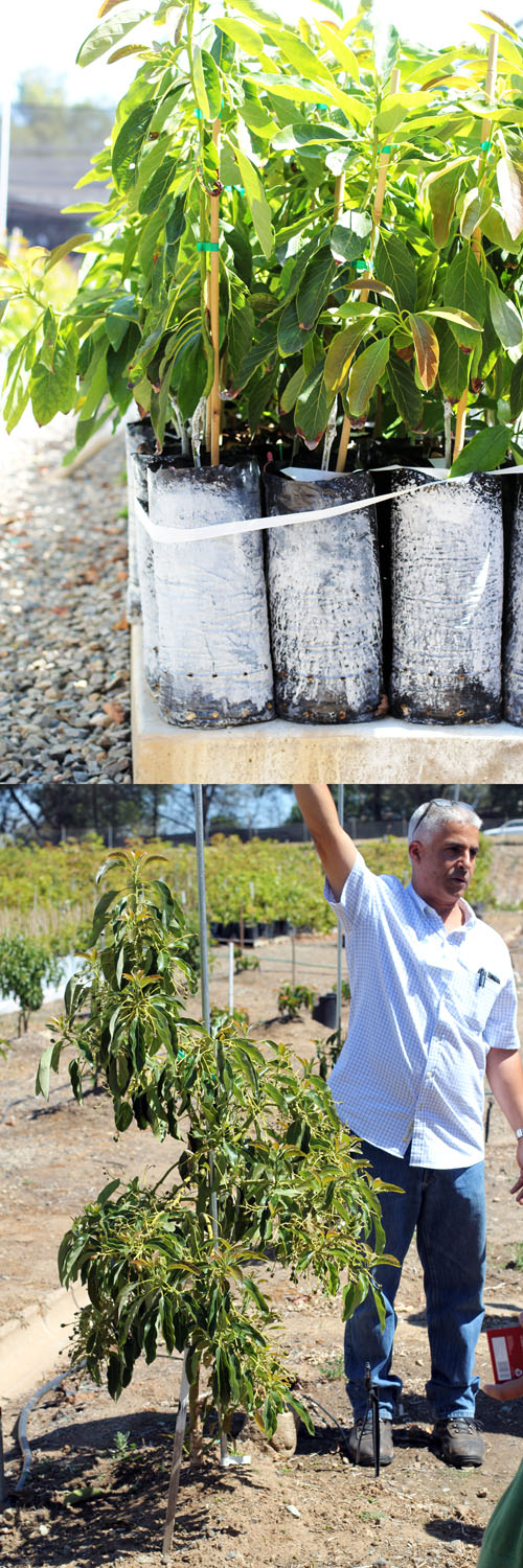 brand new avocado trees at persea tree nursery by @janemaynard