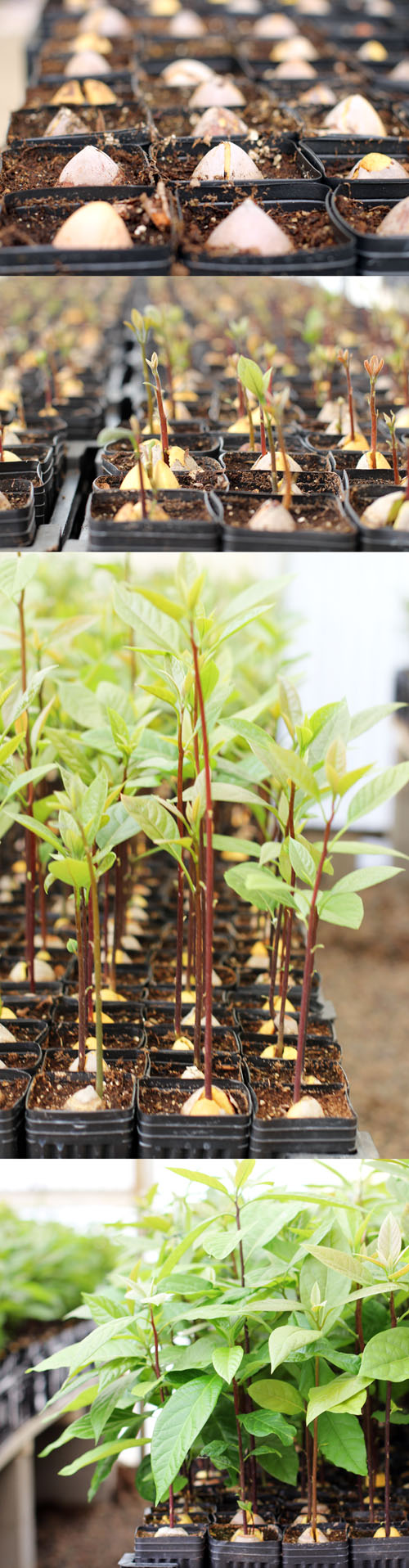 growing avocado trees at persea tree nursery in california by @janemaynard
