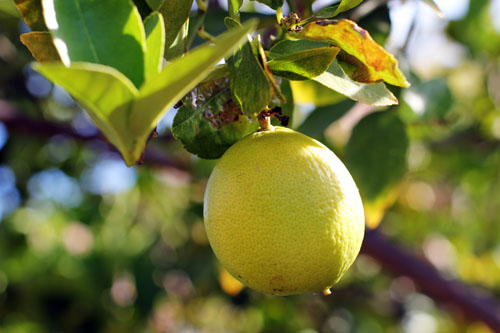 why you need a lemon press from @janemaynard | pictured: bearss lime tree