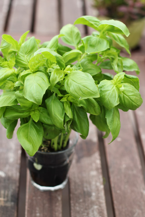 living herbs basil plants are the BEST, especially if you have a black thumb!