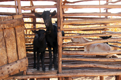 snapshots from malawi: heifer goats by @janemaynard
