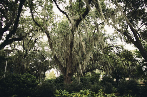 New Orleans City Park | Spanish Moss | Photo Credit Cora Wallin