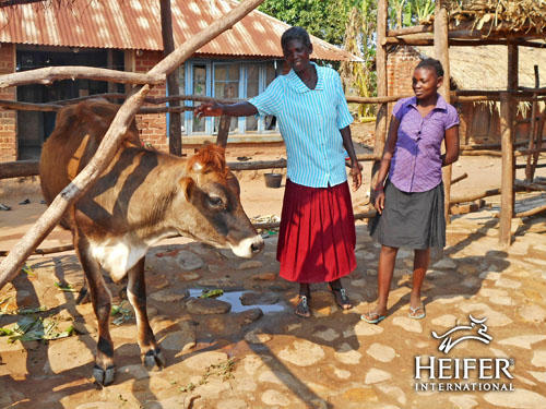 Heifer International Malawian Farmer Rhoda receiving her cow! By @janemaynard